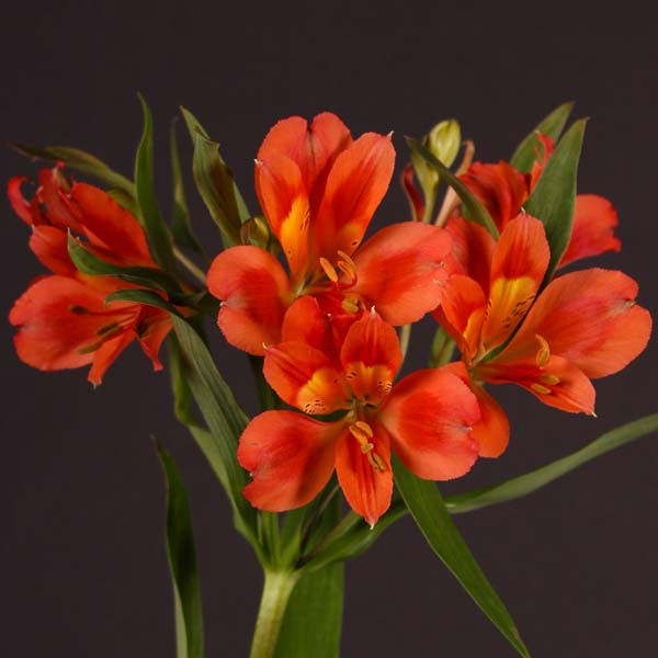 alstroemeria_orange