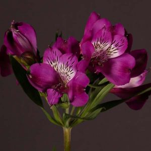 alstroemeria_purple