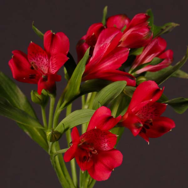 alstroemeria_red