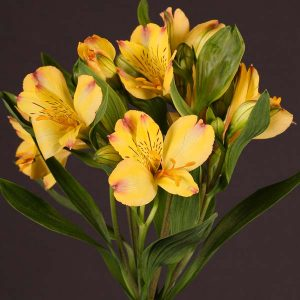 alstroemeria_yellow