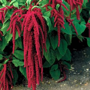 amaranthus_red