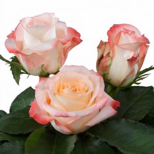 Interplant Roses 081124