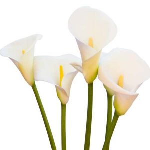 calla_white_open