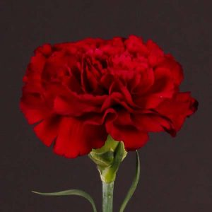 carnation_red