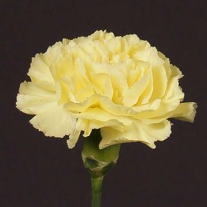 carnation_yellow