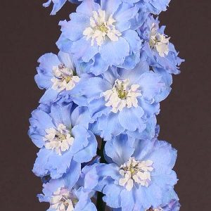delphinium_royal_light_blue