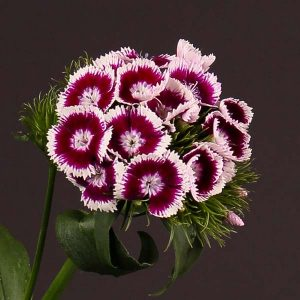 dianthus_amazon_bicolor_pink