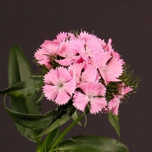 dianthus_amazon_pink