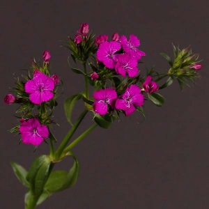 dianthus_amazon_purple