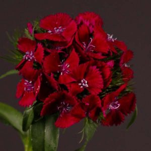 dianthus_sweet_red