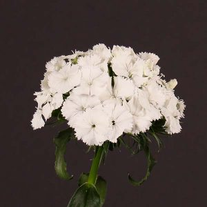 dianthus_sweet_white