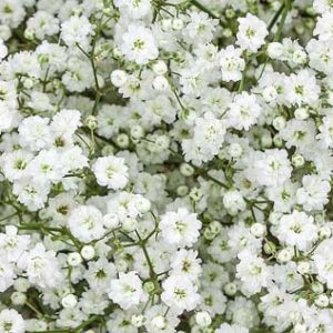 gypsophila_million_star
