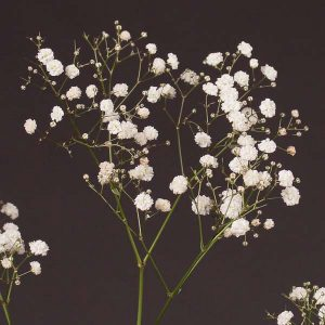 gypsophila_new_hope