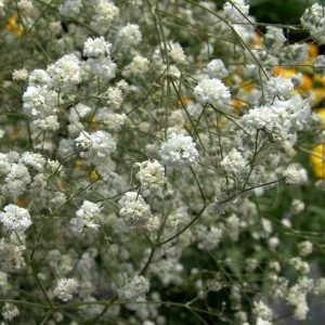 gypsophila_perfecta