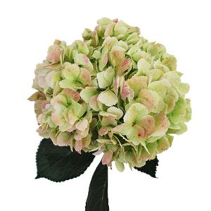 hydrangea_antique_green