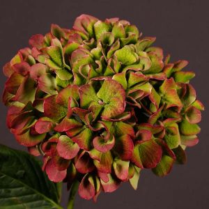 hydrangea_antique_red