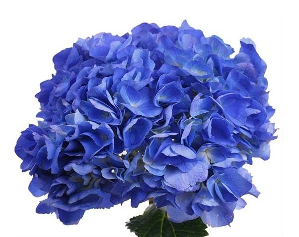 hydrangea_shocking_blue