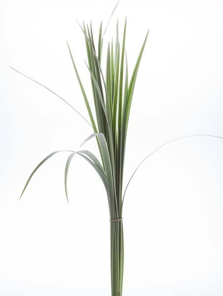 lily_grass_variegated