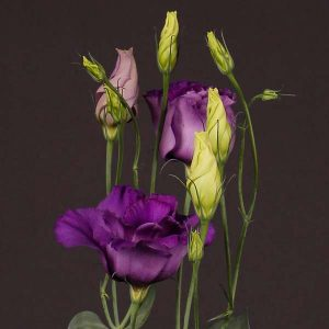 lisianthus_dark_blue