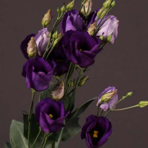 lisianthus_purple