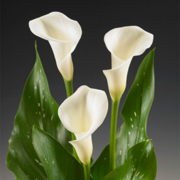 mini_calla_crystal_white