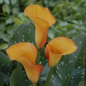 mini_calla_orange_love