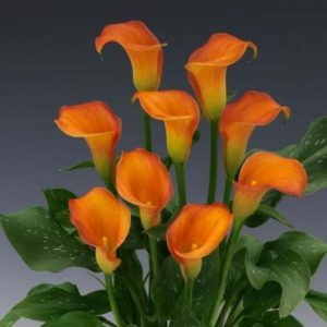 mini_calla_orange_mango