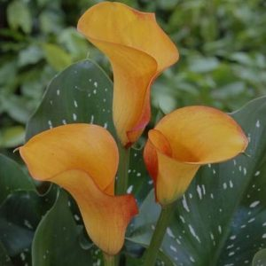 mini_calla_papaya