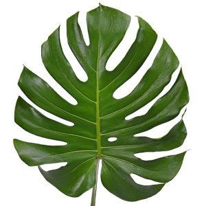 monstera_leaves