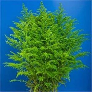 solidago_green