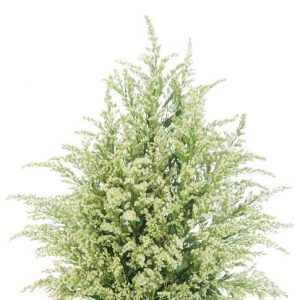 solidago_white
