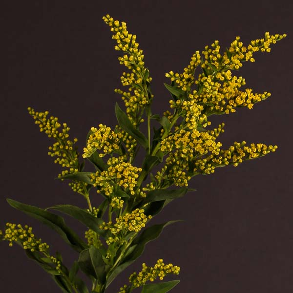 solidago_yellow