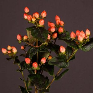 spray_hypericum_orange