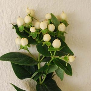 spray_hypericum_white