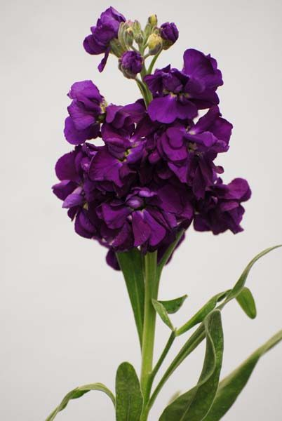 stock_dark_purple