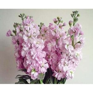 stock_pink