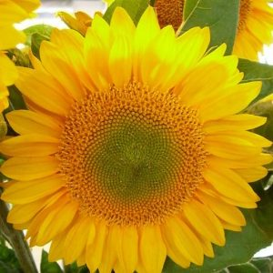 sunflower_green_center_select