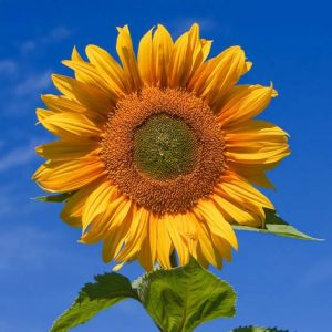 sunflower_jumbo