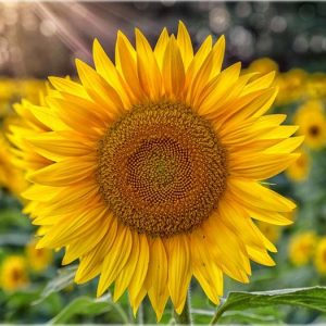 sunflower_yellow_center_select