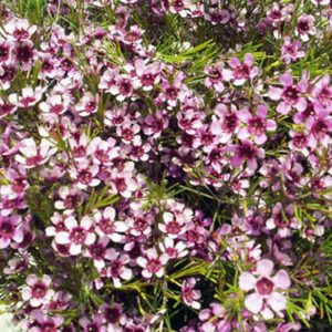 waxflower_lavender