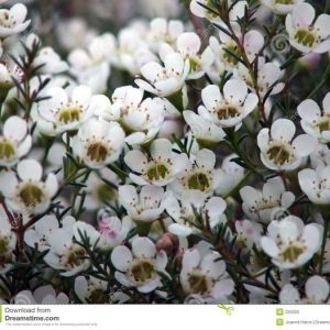 waxflower_white