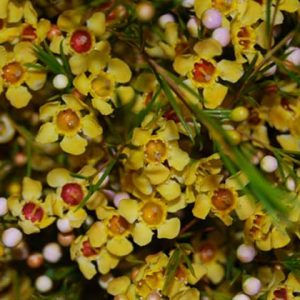 waxflower_yellow